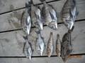 今年三度目のクロダイ釣り