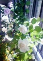 白いバラもたくさん咲きました